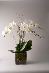 Luxurious Orchid Plant in Teaneck, NJ | Teaneck Flower Shop (A.A.A.A.A.)