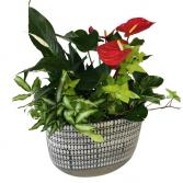 LUXURY MIX 2 Plant
