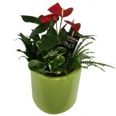 LUXURY MIX 3 Plant