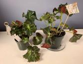 Lynette's Lovelies ~ Whirley Twirly Begonia Plant
