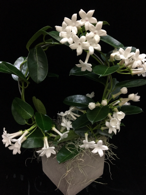 Madagascar Jasmine  in New Canaan, CT | BON FLEUR