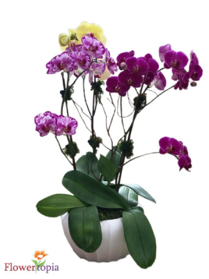Magical Orchid Plant Orchid Plant in Miami, FL | FLOWERTOPIA