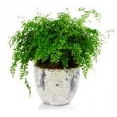 Maiden Hair Fern Plant