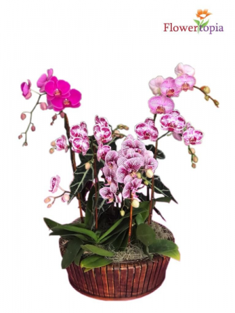 Majestic Garden Orchid