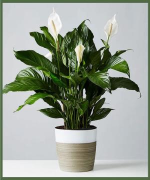Majestic Peace Lily Best Seller! in Arlington, TX | Erinn's Creations Florist
