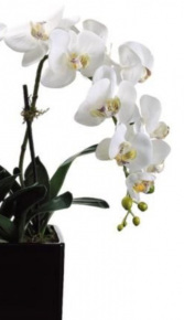 Mammoth Orchid Plant
