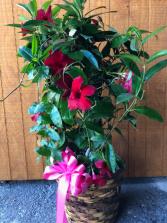Mandevilla Vine on Trellis Plant