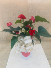 Many Hearts Anthurium Blooming Plant