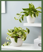 MARBLE QUEEN POTHOS Indirect light; can tolerate lower light