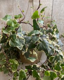 "Marengo Ivy 10"" Hanging Basket plant"