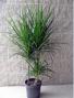 "Marginata tip (8"" pot) plant"