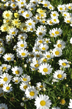 Marguerite Daisy- Yellow or White Greenhouse