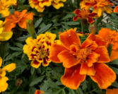 Marigolds- 6 Pack