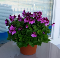 Martha Washington Geranium Blooming annual plant