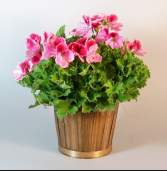Martha Washington Geranium Outdoor plant