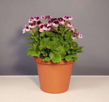 Martha Washington Geranium Plant