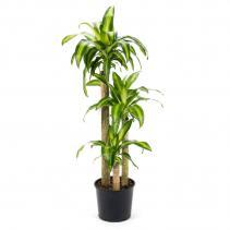 "Massangeana Plant (10"" pot in a basket) plant"