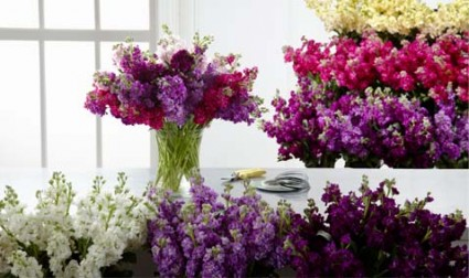 Matthiola, Gillyflower, Bouquet Best Colors of the Day, Spicy, Light Fragrance