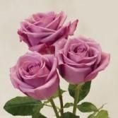 Mauve Roses Cut flowers - no vase