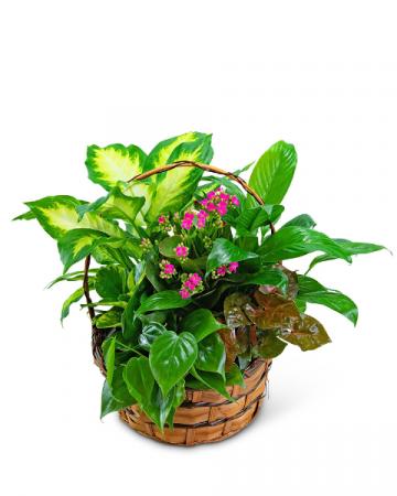 Medium Blooming Dish Garden Plant