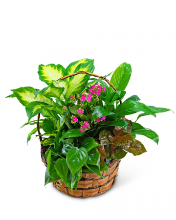 Medium Blooming Dish Garden Plant