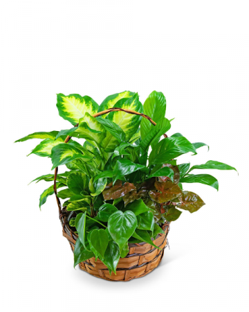 Medium Basket Garden Plant