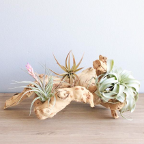Medium Grapevine Display Tillandsia Air Plants