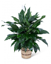 Medium Peace Lily Plant Flower Arrangement