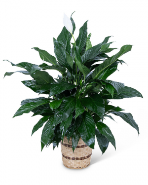 Large Peace Lily Plant Flower Arrangement in Du Bois, PA | BRADY STREET FLORIST