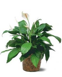 Medium Spathiphyllum Plant
