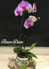 Melanie Phalaenopsis Plant Plant in Ceramic Container