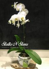 Melinda Phalaenopsis Orchid in Ceramic Pot