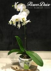 Melinda Phalaenopsis Plant Plant in Ceramic Container