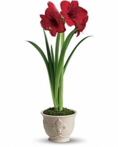 Merry Amaryllis House Plant