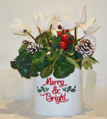 MERRY AND BRIGHT CYCLAMEN Indoor Blooming Plant