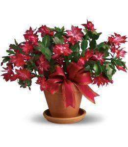 Merry Christmas Cactus H1233A