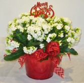 MERRY CHRISTMAS CALENDIVA Indoor Blooming Plant