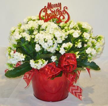 MERRY CHRISTMAS CALENDIVA Indoor Blooming Plant