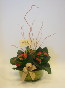Merry Wishes Flowering Plant