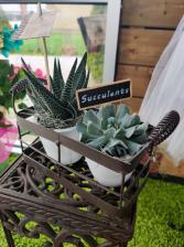 Metal Tray Succulents