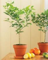 ROMA FLORIST Meyer Lemon  Lemon  tree have a lot of fruit &  flowers