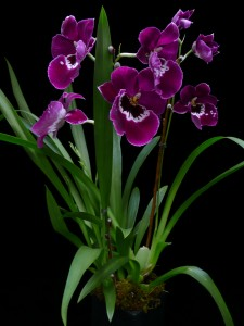 Militonia orchid  in New Canaan, CT | BON FLEUR