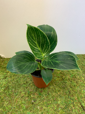 Millennial - Berkin White Variegated Philodendron Add-On Millennial Plant in Northport, NY | Hengstenberg's Florist