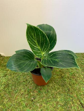 Philodendron Birkin Add-On