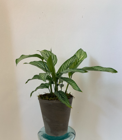 Calathea eliptica 'Vittata'  Add-On