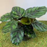 Calathea Fasciata Dragon Scale 6 inch pot