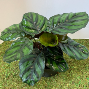 Calathea Fasciata Dragon Scale 6 inch pot   in Northport, NY | Hengstenberg's Florist