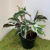Millennial Plant - Calathea Fusion 6' pot Millenial Plant