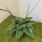 Millennial Plant - Hoya Macrophylla 6