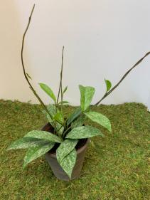 Millennial Plant - Hoya Publicalyx add-on Add-On Millennial Plant
